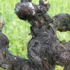 Withered old vines in front of green grass